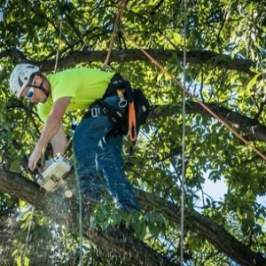 Picture of a climber in a tree cutting off old branches from a large tree in Bentonville, AR