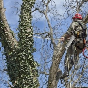 Picture of our tree climber doing a tree trimming on an old tree in Bentonville, AR